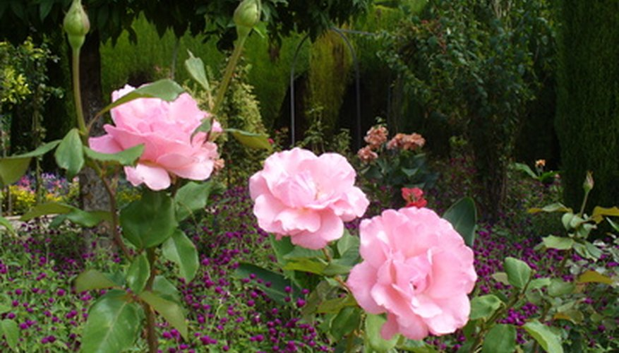 Roses need a loose, rich soil known as loam for healthy growth.