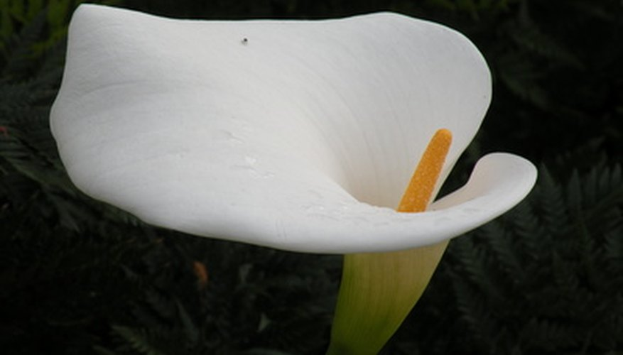 Calla lilies produce the most blooms in full sun.
