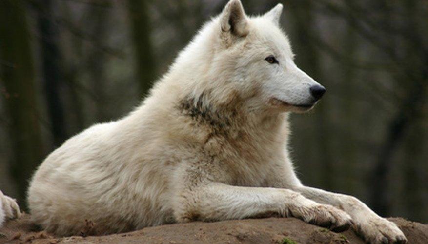 El lobo de la tundra también se lo conoce como el lobo del ártico.