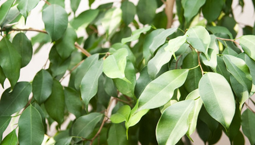 Ficus leaves benefit from being misted every day.