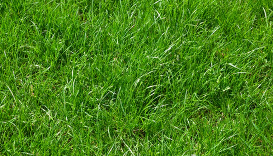 Once established, your carpet grass lawn will be almost maintenance free.