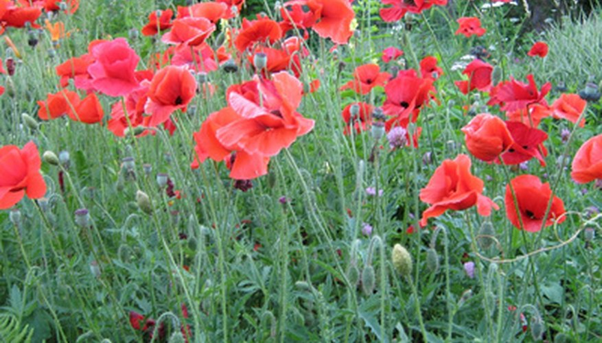 Tricks For Growing Poppies Garden Guides