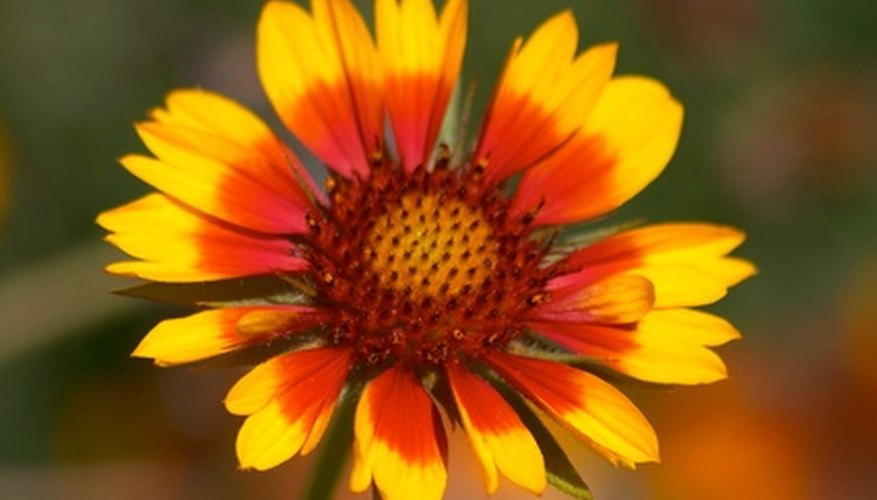 Blanket flower bloom