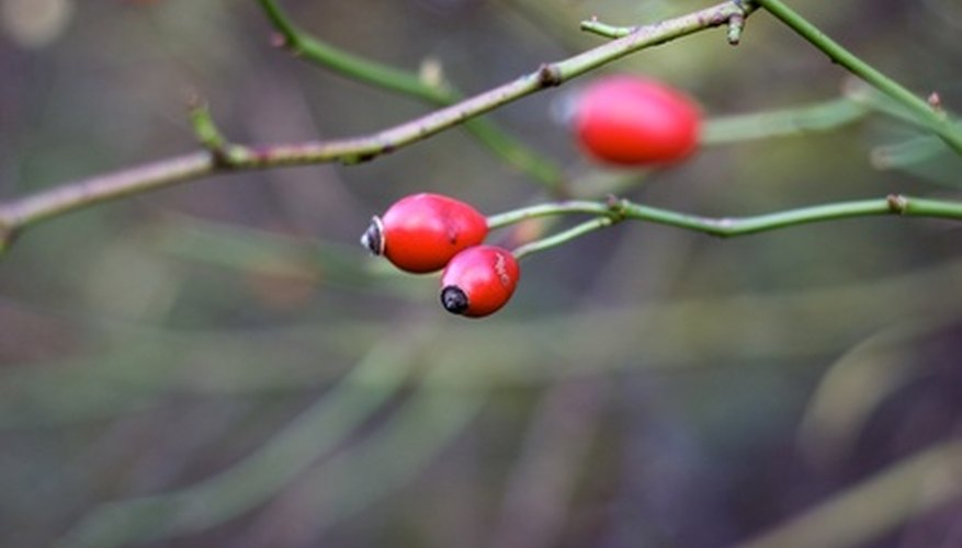 Dogwood berries are typically red and oval.