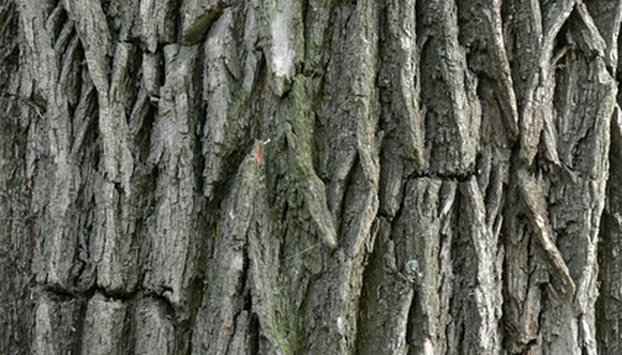 Walnut trees have deeply rutted bark.