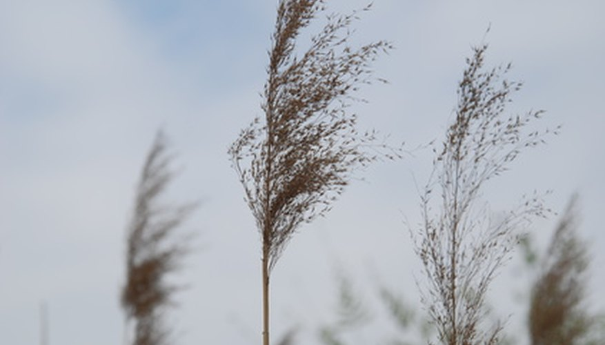 Common reeds can grow 6 to 12 feet tall.