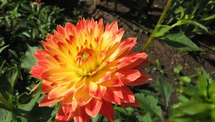 Dahlias experience insect pest problems such as aphids.