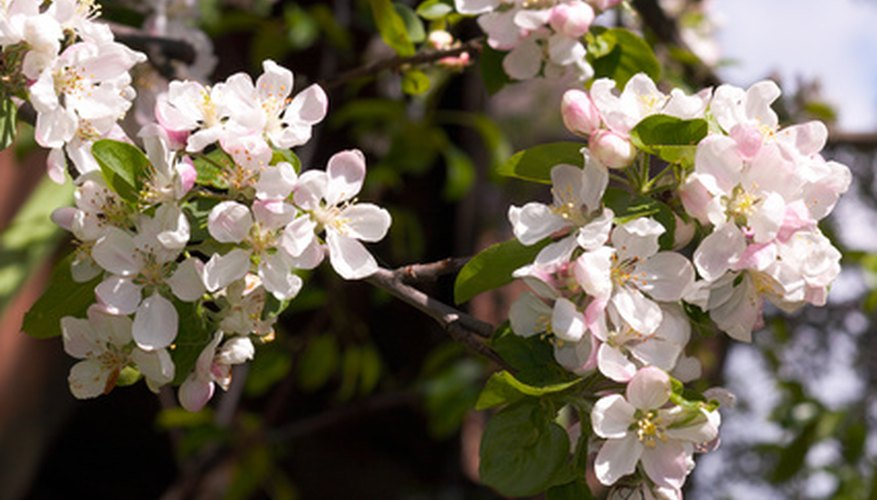 Crabapple trees are susceptible to an insect pest called the bagworm.
