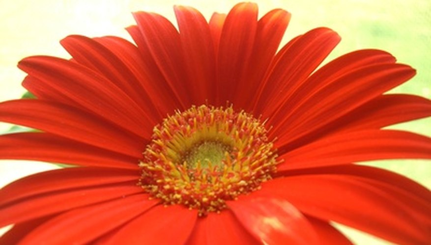 Gerbera daisies have a distinctive wide flower.