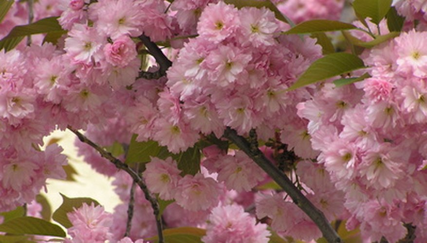 Pink flowering cherry trees add beauty to the garden.