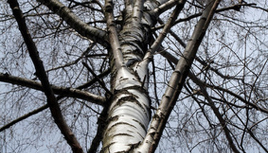 All varieties of birch trees found in Pennsylvania are susceptible to attack from fungal pests and diseases.