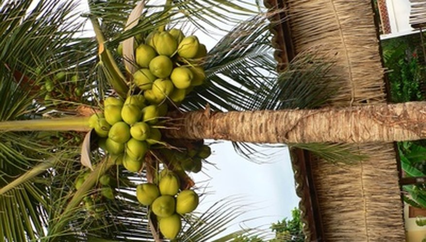 Coconut fruit is connected by a hard protective outer layer.
