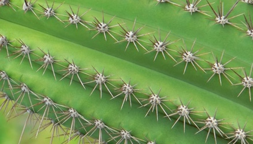 Keep cactus away from walkways and doorways.
