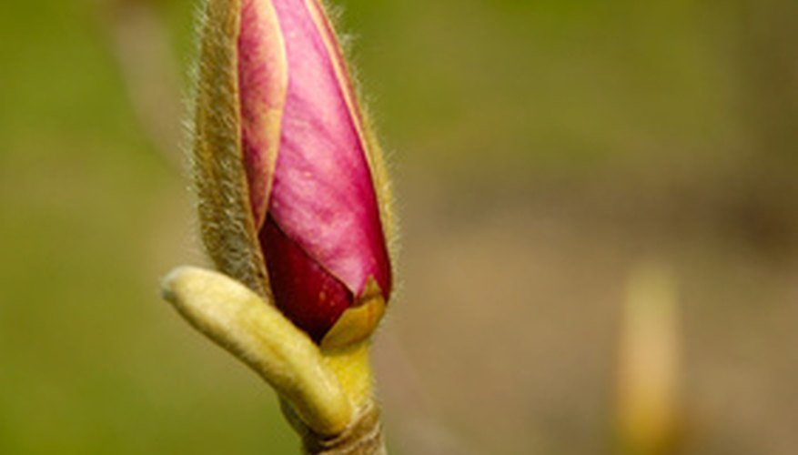Magnolia tree bud