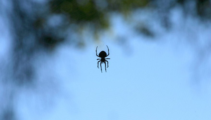 Brown spiders are related to the black widow spider, with a similar body shape.