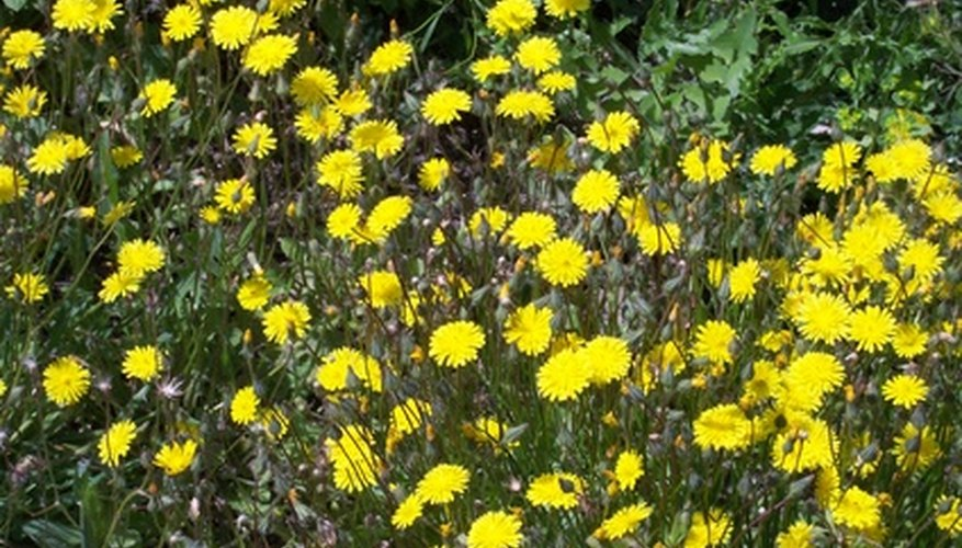 Plant yellow coreopsis in a container.