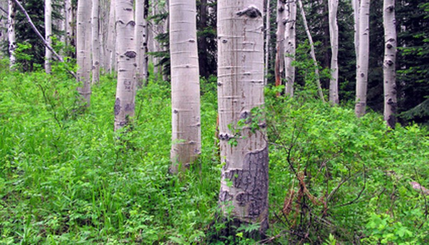 The white bark, although pretty, does not always protect aspen trees.