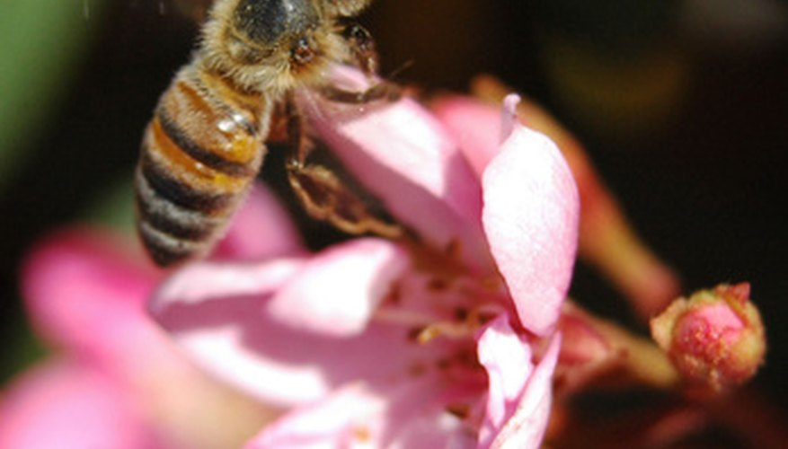 Honey bees can pollinate a range of tree crops, including avocados.