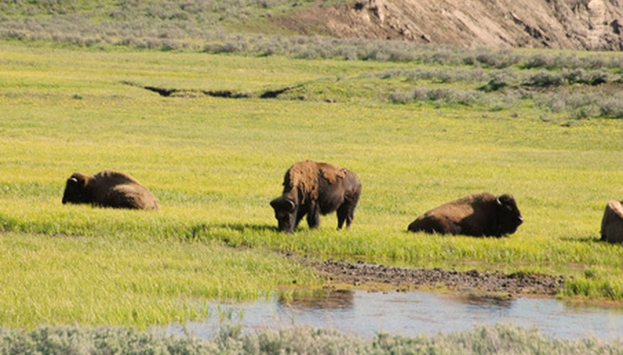 Buffalo grass was the main food source of the Great Plains buffalo.