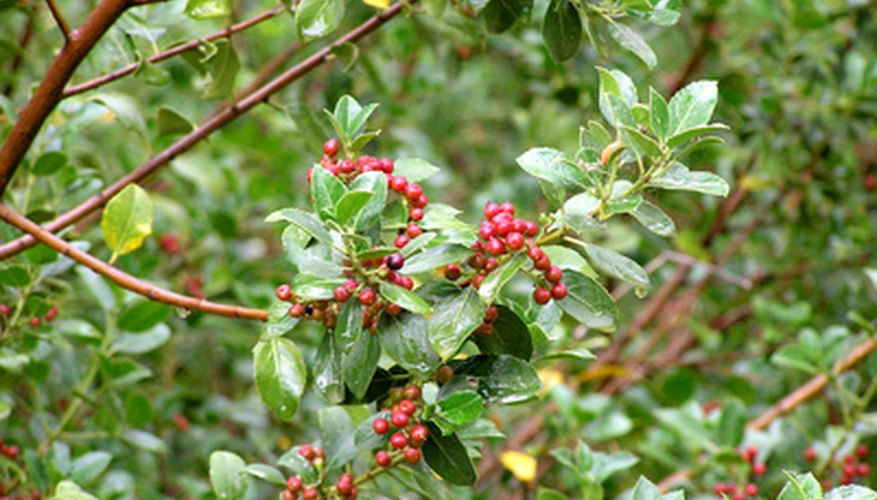 Japanese holly (Christmas holly) has small, oval-shaped leaves and red berries.