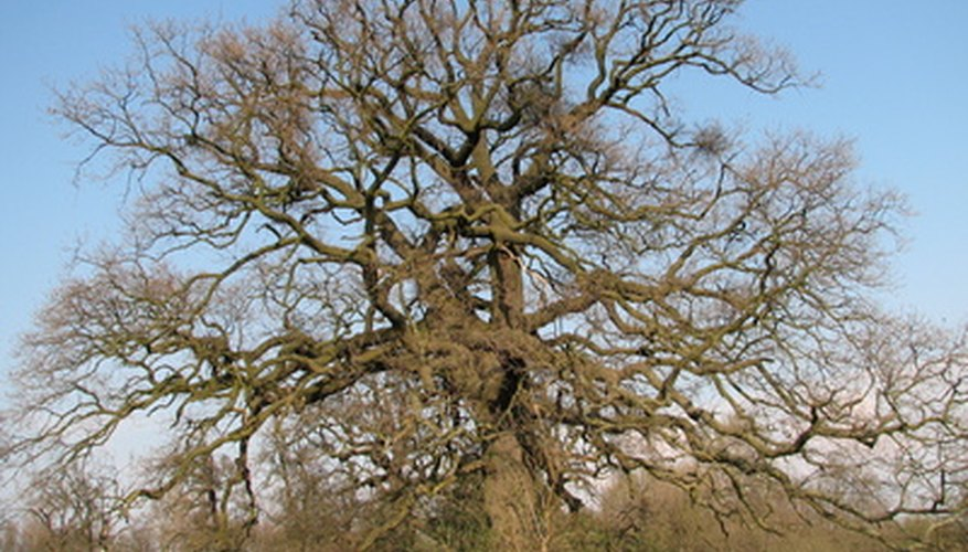 Oak trees can be severely affected by excessive salt exposure.