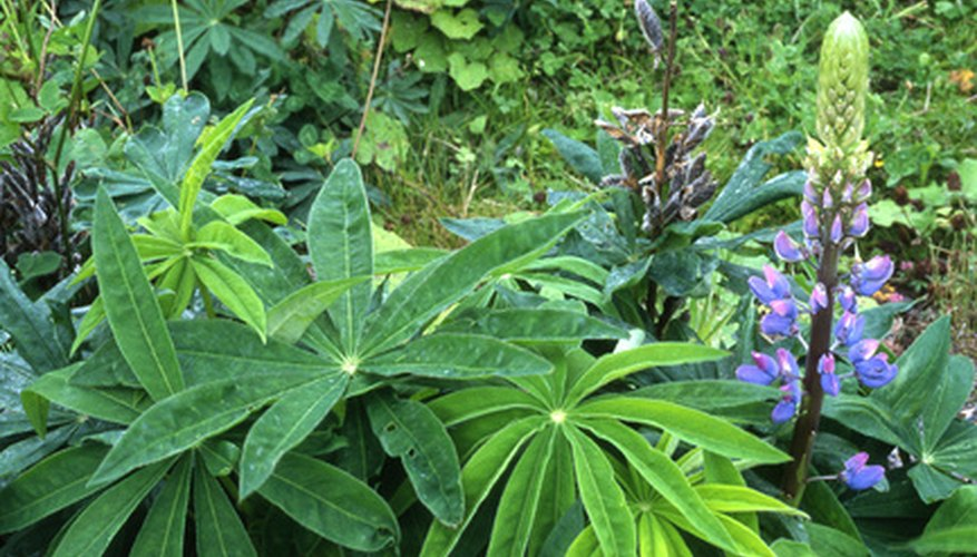 The distinct leaves and flowers of the lupine.