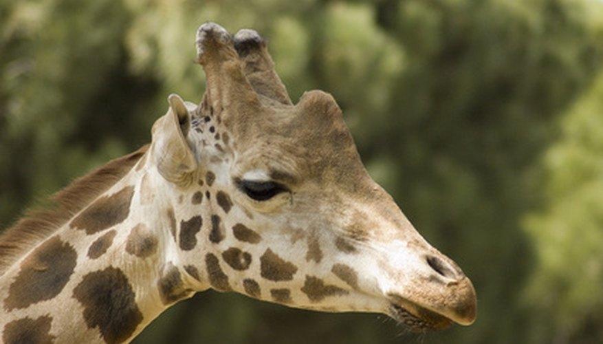 Las jirafas usan infrasonidos para comunicarse.
