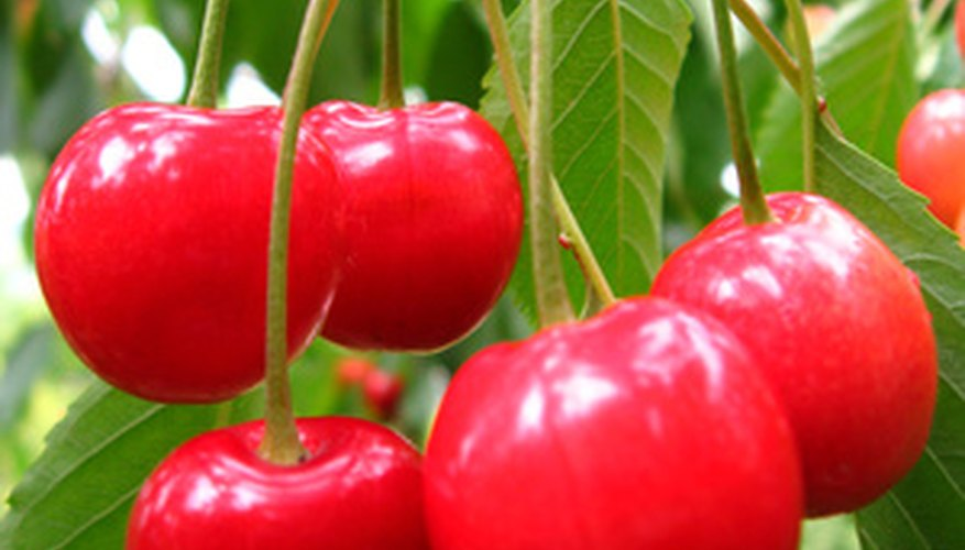 Lime sulfur applications can keep cherry trees healthy.