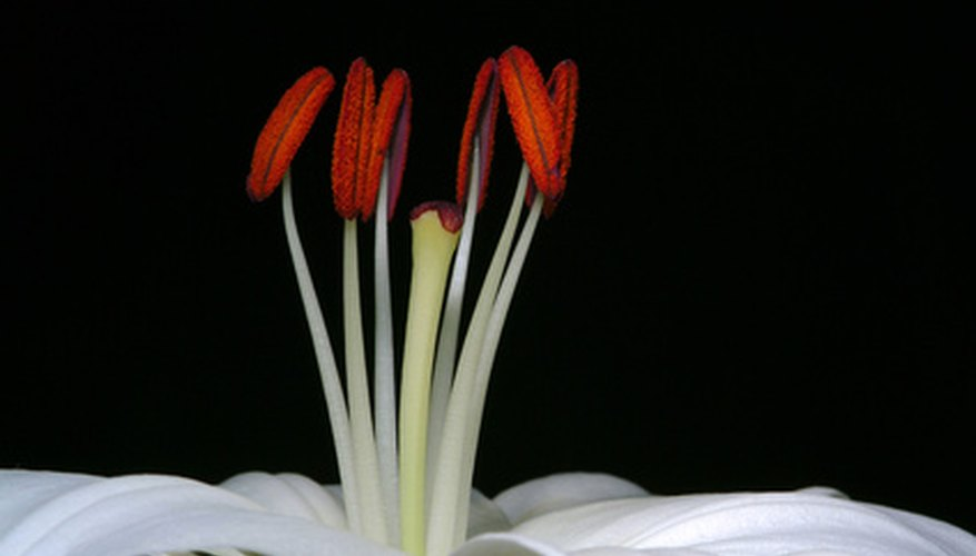 The brown anthers sit on top of filaments.