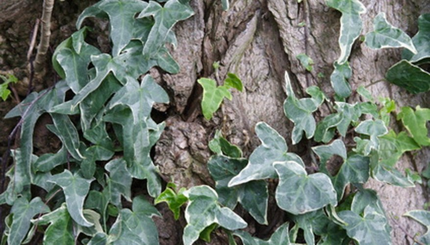 English Ivy grows beautifully on trees, hillsides and walls.