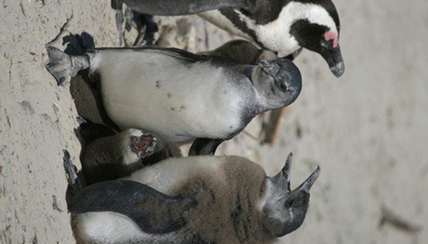 Los pingüinos necesitan protegerse de sus depredadores.