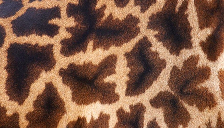 Con bocas especializadas, lenguas y paladares superiores, las jirafas ni se inmutan por las espinas.