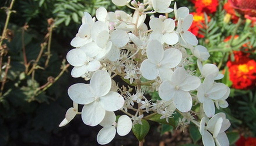 Panicle hydrangeas have cone-shaped flowers called panicles/