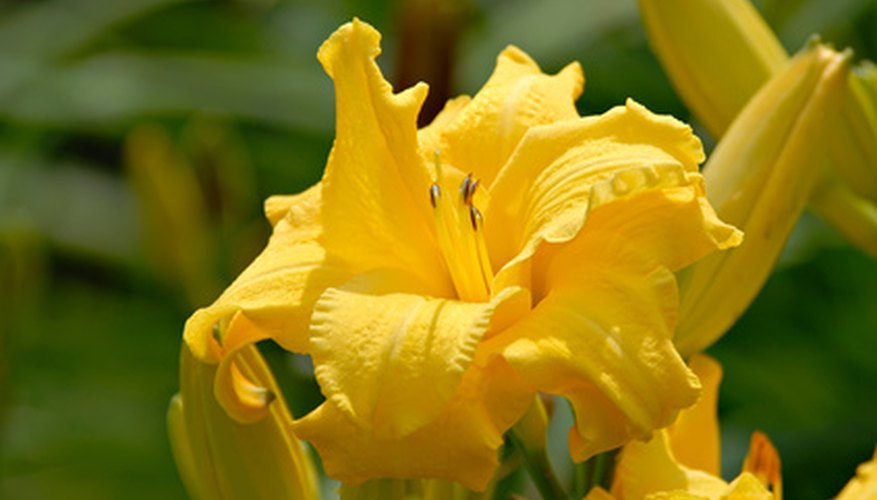 Growing daylilies from seed can be an inexpensive and rewarding method of obtaining more plants.