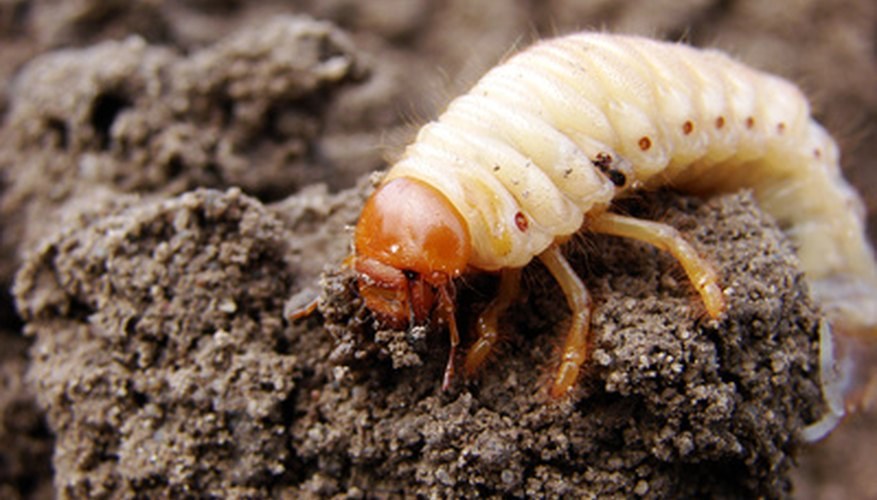 Grubs cause damage to grass roots.