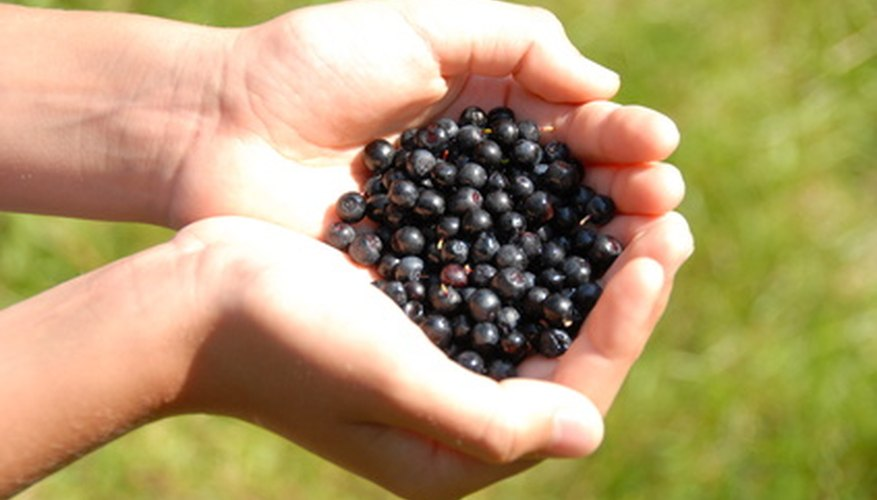Huckleberries look like small blueberries.