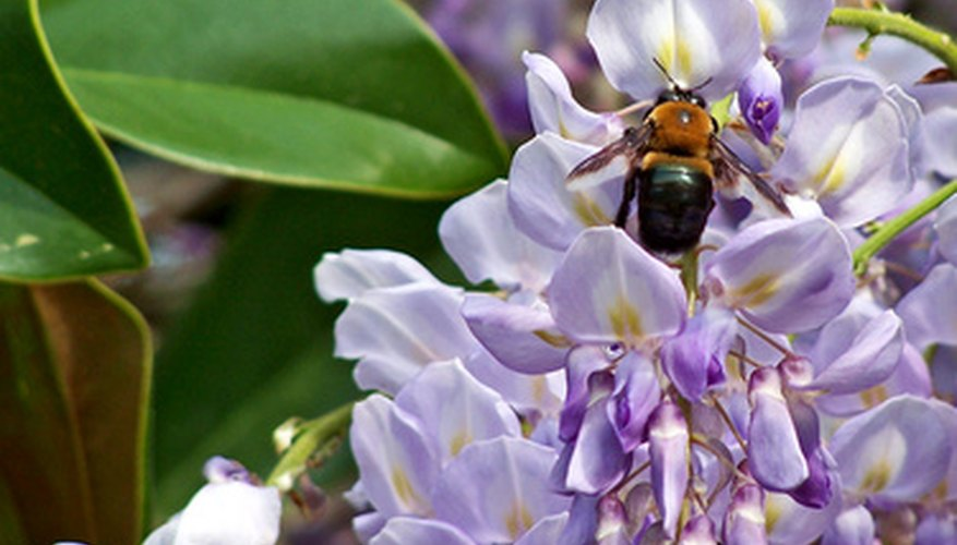 Wisteria will attract bees to your garden