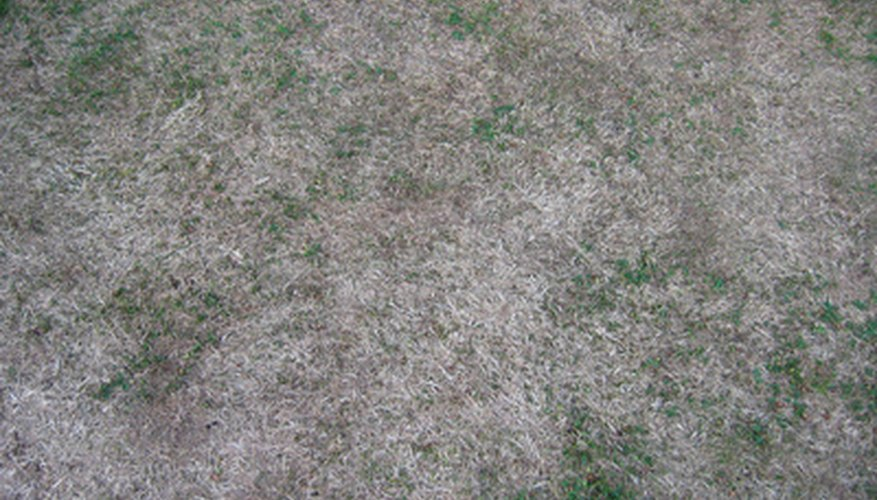 Brown dead grass is the result of black plastic and summer sun.