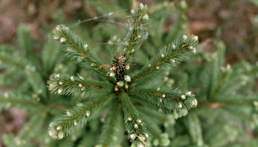 The Norway spruce is also known as European spruce.