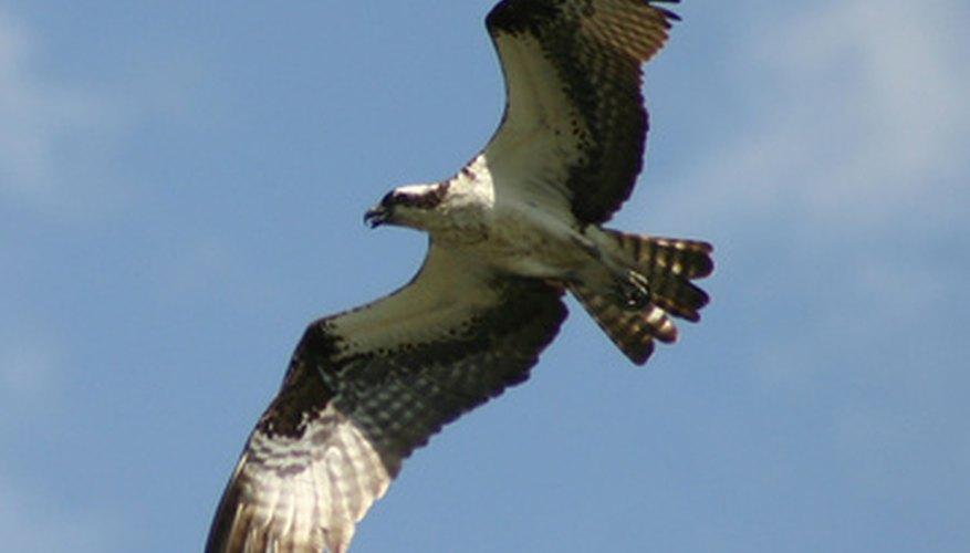 Los halcones son aves de rapiña.