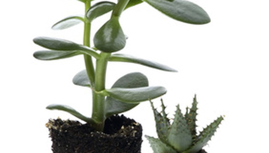 Perlite can be observed as tiny white flecks in many premixed potting soils.