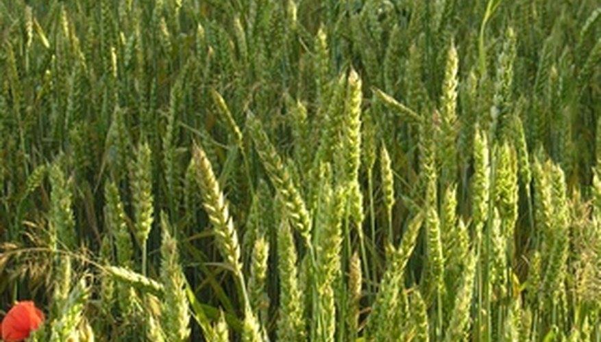 Plantas de trigo saludables