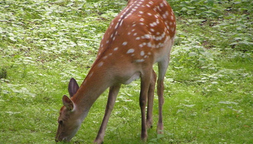 Deer are notorious garden pests.