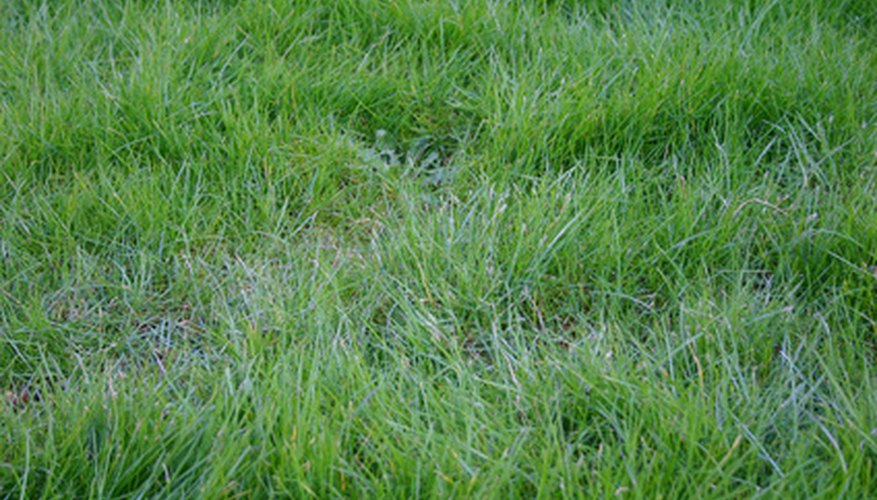 Overseeding creates a lush lawn that prevents the germination of crabgrass in the spring.