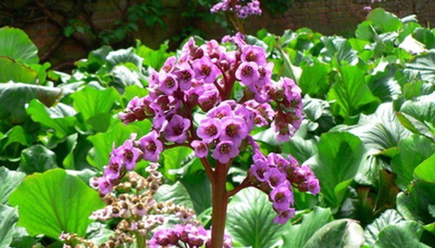 Bergenia is an underused perennial for the shade.