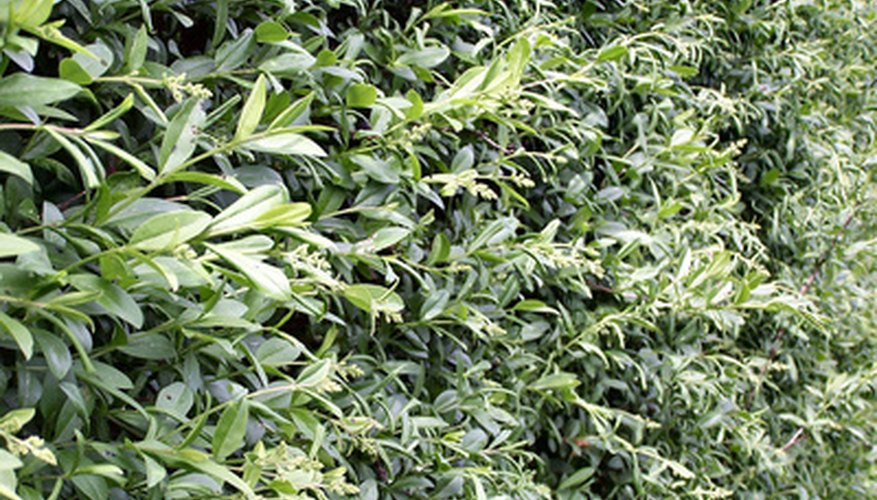 Privet needs two or more trims a year to stay neat.