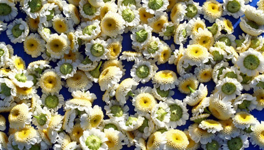 Chamomile is used in many teas
