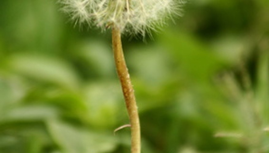 Dandelion seeds often germinate early in spring when many herbicides are ineffective.