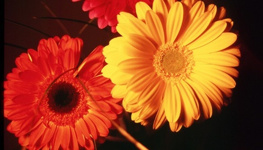 Bright blooms of the gerbera daisy