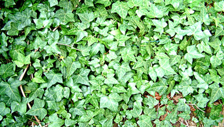 A blanket of ivy vines covering the soil.